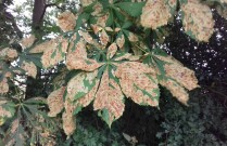 Horse chestnut leaf disease, possibly leaf minor