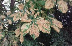 Horse chestnut leaf disease, possibly leaf minor