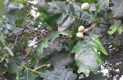 Developing acorns on an oak tree