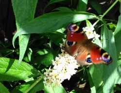 Peacock butterfly on the Buddleia davidii