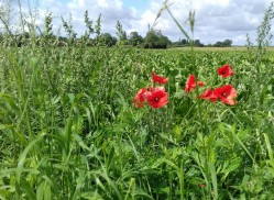 Poppies at the edge of a field
