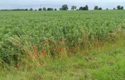 Pooies along the edge of a bean field