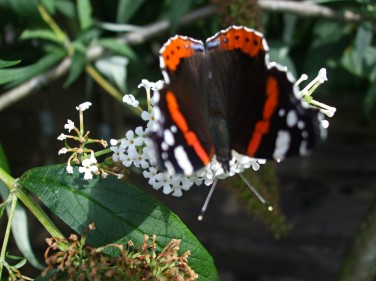 Red Admiral butterfly on the Buddeia