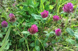 Red clover in the wildflower meadow