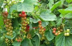 Redcurrants close up