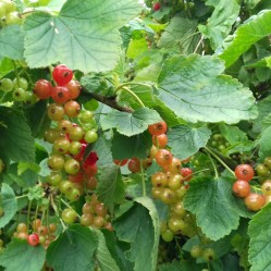 Redcurrants close up