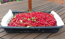 Just one tray of the many redcurrants we've picked in the garden this year