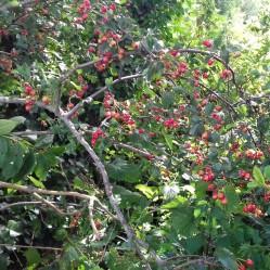 Ripening hawthorn berries