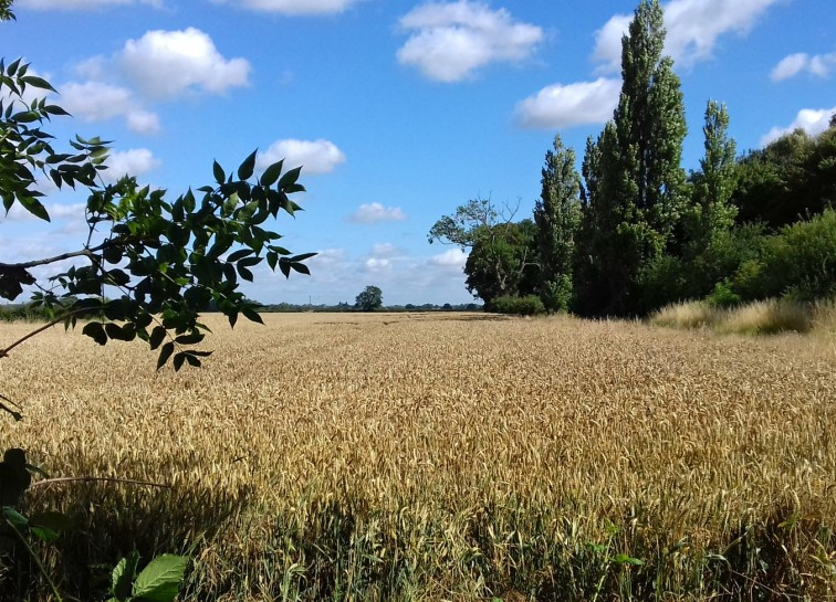 Wheat almost ready for harvesting