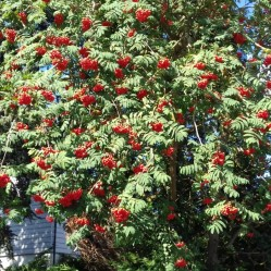 Rowan berries on a tree in the front garden of a house in the village