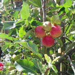 Close up of Scrumptious apples