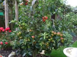 ' Scrumptious' dwarf apple tree