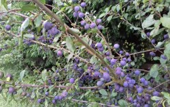 Sloes (wild damsons) in the hedge along Collingham Lane.