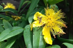 St John's Wort (with just a few visiting insects!)