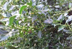 Unripened holly berries