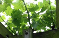 Vine over the pergola