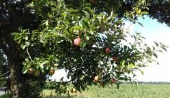 Apple tree growing along the lane