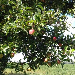 Apple tree growing along the lane
