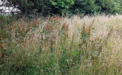 Long grasses in the wildflower meadow