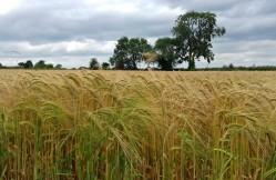 Ripening winter barley