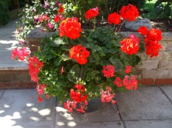 Geraniums in plant pot
