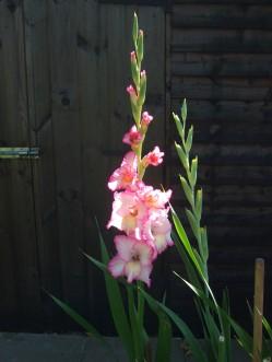 Gladiolus stiil flowering