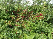Hawthorn Berries, or haws, in the hedgerow
