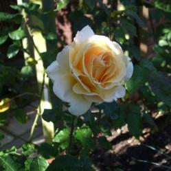 Last September roses 1