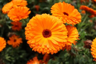 October birth flower: calendula