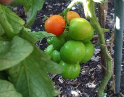 Ripening outdoor tomatoes