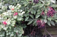 Rosehips and Elderberries