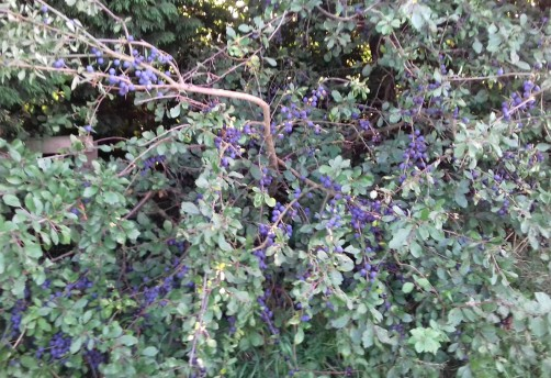 Sloes along the lane