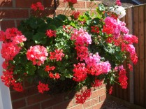 Wall basket still flowering well