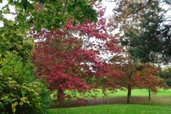 Red Oak is not native to Britain 2