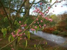 Harlow Carr November blossom
