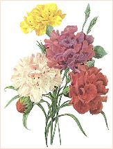 Carnation. Transferred from de.wikipedia by Marksim Creative Commons
