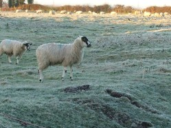 Close up of sheep in a frosty ridge and furrow field early December