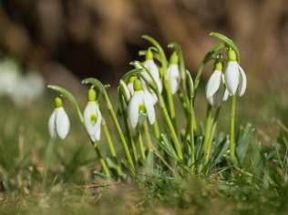 Snowdrops. Image courtesy of Pixabay