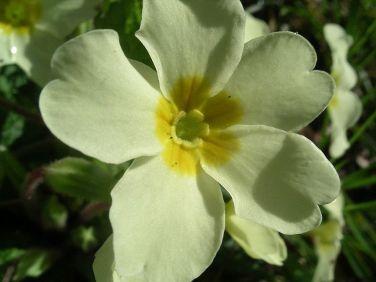 English primrose, Menai Bridge, Angelsey. Public Domain