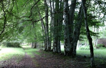 Row of oddly shaped silver birch trees 2