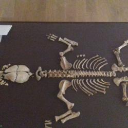 Baby hyena skeleton (named 'Eric')