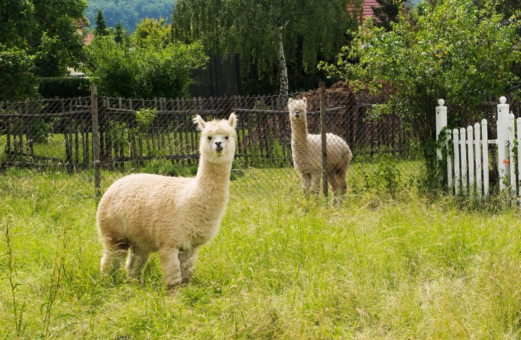 alpaca-2907771_1920