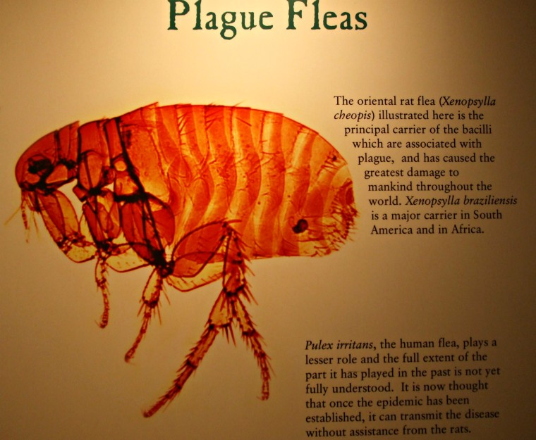 Plague Flea 2