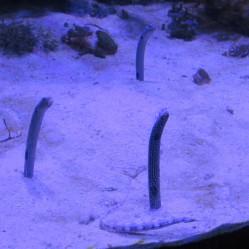 Garden eels 1