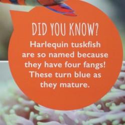 Harlequin Tuskfish Information