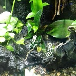 Toxic Amazonian frogs