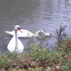 Swans in Hesketh Park in November